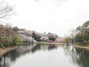 ikesakura2.jpg